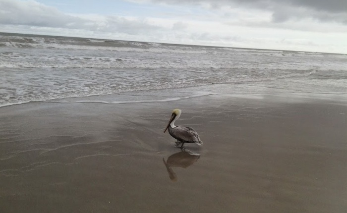 Fave Fotos: Mr. Pelican Broods in the Surf