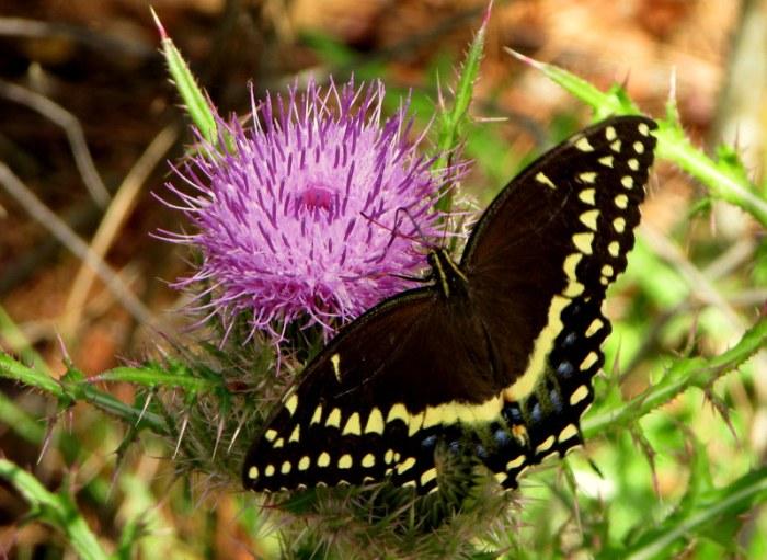 Seulement un Beau PapillonIci