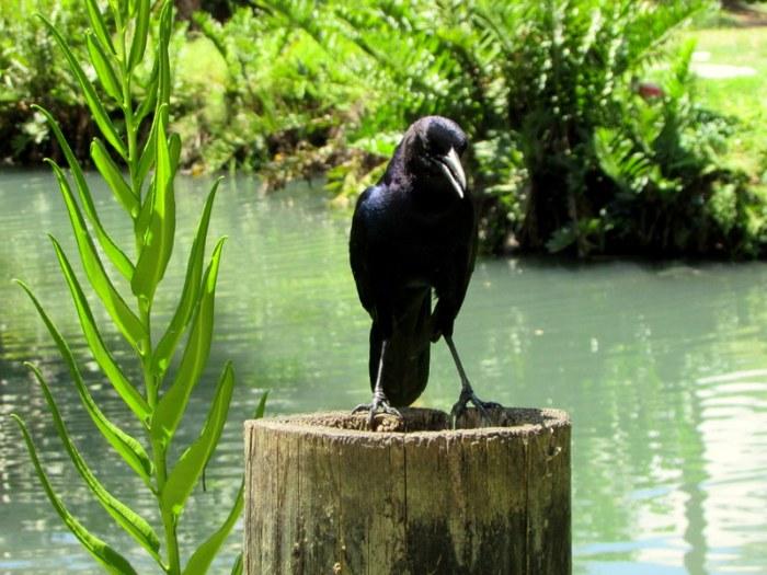 Fave Fotos: Crow with Attitude at The BrevardZoo