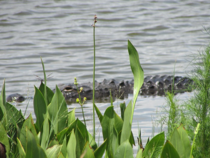 Mr. Gator Hangin' Around at the Ritch Grissom Memorial Wetlands in Brevard County