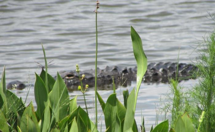Mr. Gator Hangin' Around at the Ritch Grissom Memorial Wetlands in BrevardCounty