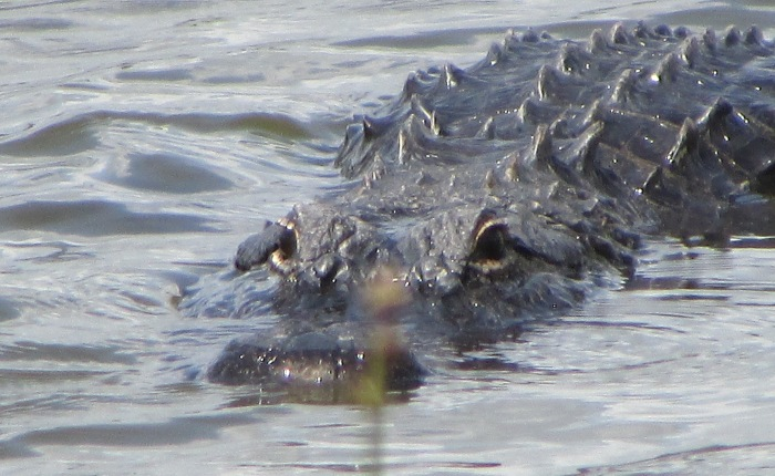 Alligator Season begins today